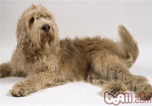 奥达猎犬的养护知识