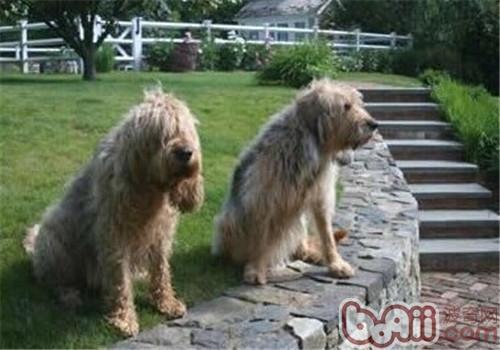 奥达猎犬的形态特征