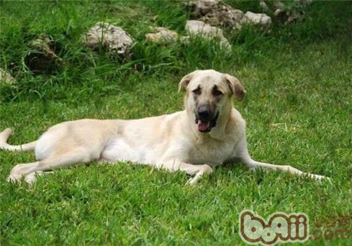 安娜图牧羊犬的形态特征