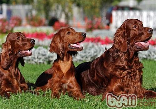 爱尔兰雪达犬的品种简介