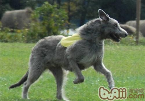 爱尔兰猎狼犬的养护知识