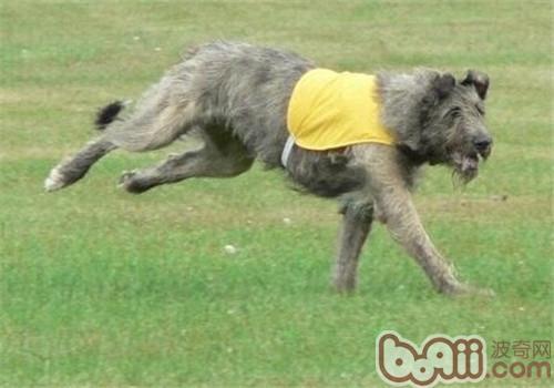 爱尔兰猎狼犬的性格特点