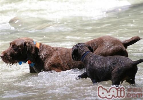 德国刚毛指示犬的品种简介