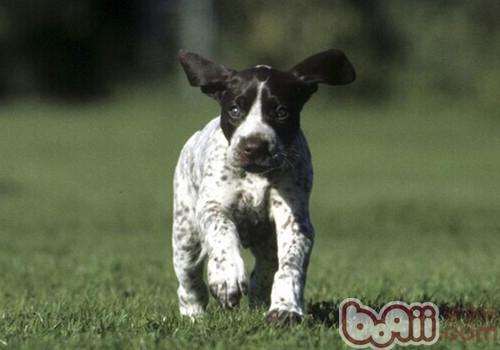 德国短毛指示犬的养护知识