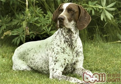 德国短毛指示犬的形态特征