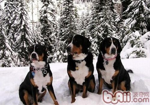 大瑞士山地犬的养护知识