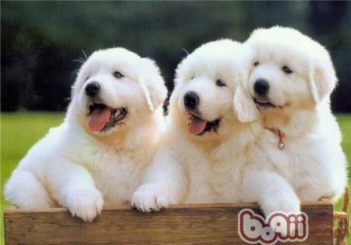 大白熊犬的形态特征
