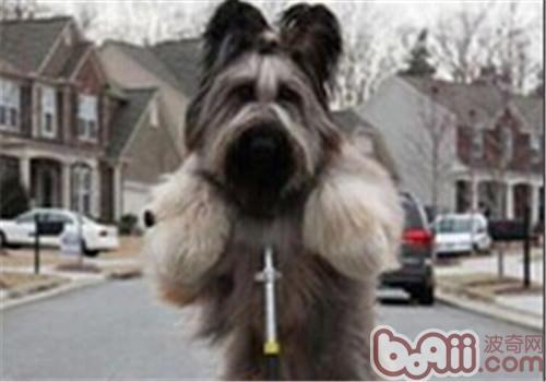 伯瑞犬的性格特点