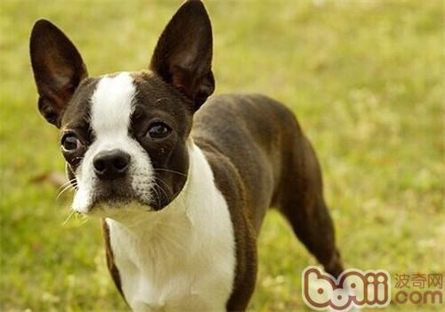 波士顿梗犬的品种简介
