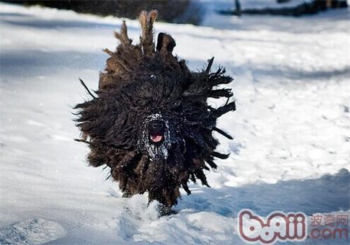波利犬的形态特征