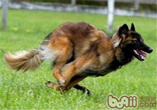 比利时坦比连犬的养护知识