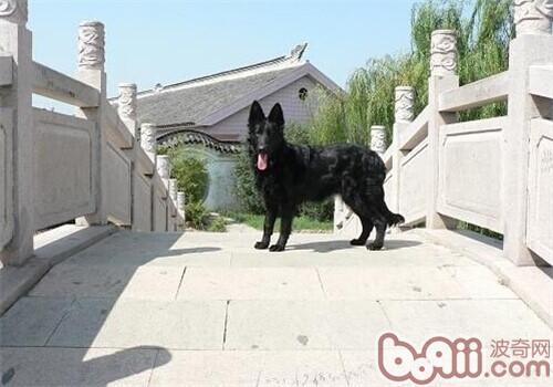 比利时格罗安达牧羊犬的养护知识
