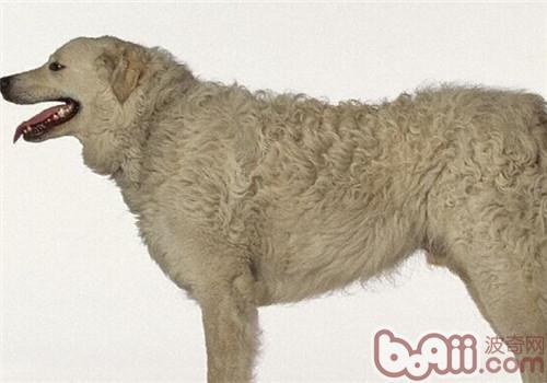 哥威斯犬的形态特征