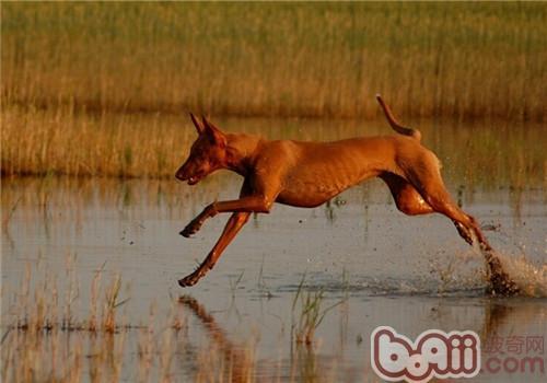 法老王猎犬的性格特点