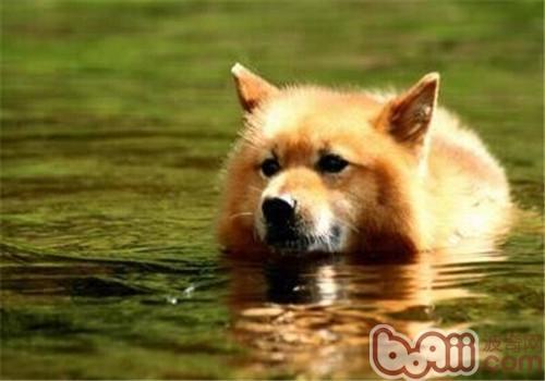 芬兰猎犬的形态特征
