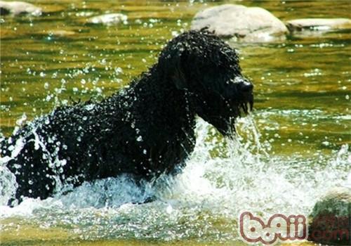 法兰德斯畜牧犬的形态特征