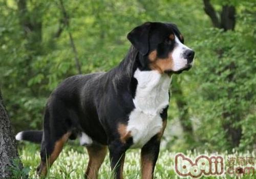 恩特雷布赫山地犬的性格特点