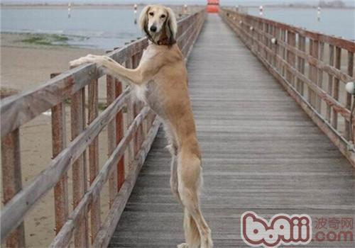 东非猎犬的性格特点