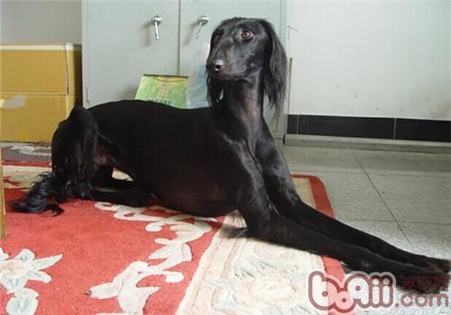 东非猎犬的形态特征