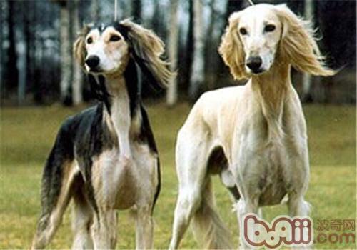东非猎犬的品种简介