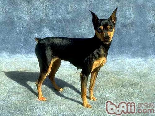 迷你杜宾犬的形态特征