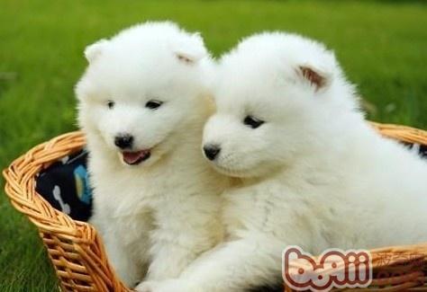 萨摩耶犬的形态特征