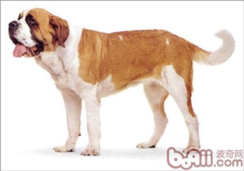 圣伯纳犬的形态特征