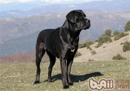 卡斯罗犬的形态特征