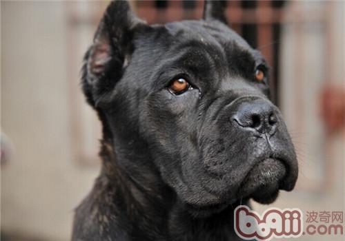 卡斯罗犬的品种简介