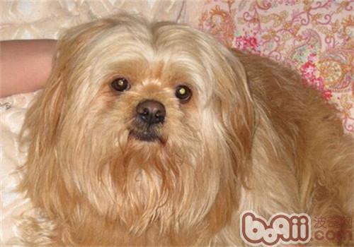 拉萨犬的护理常识