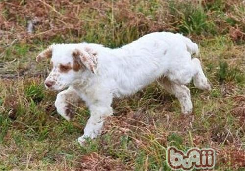 克伦伯猎鹬犬的护理常识