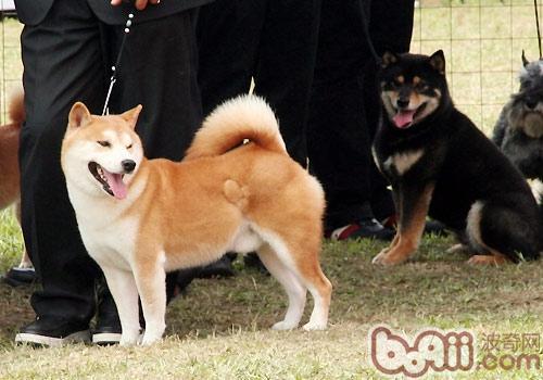 秋田犬的形态特征