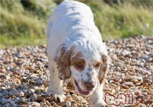克伦伯猎鹬犬的性格特点