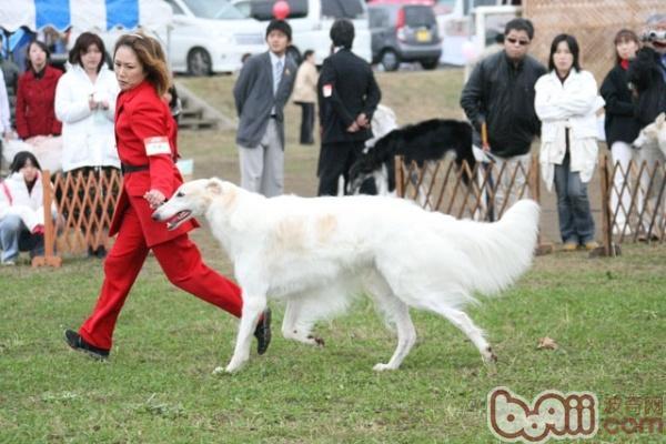 苏俄猎狼犬的饲养要点