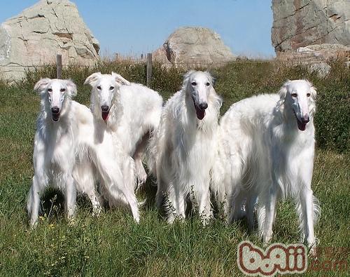 苏俄猎狼犬的性格特点