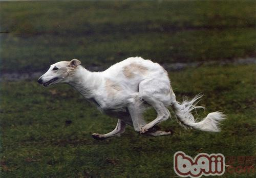 苏俄猎狼犬的品种简介