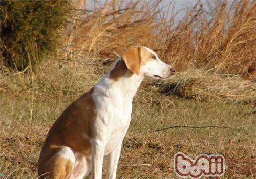 美国猎狐犬的形态特征