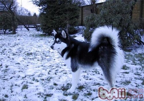 阿拉斯加雪橇犬的智商高吗?