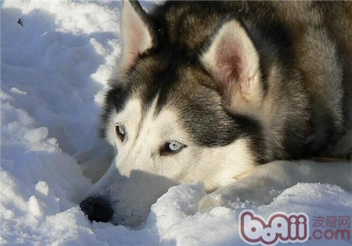 给阿拉斯加雪橇犬美容时的注意事项