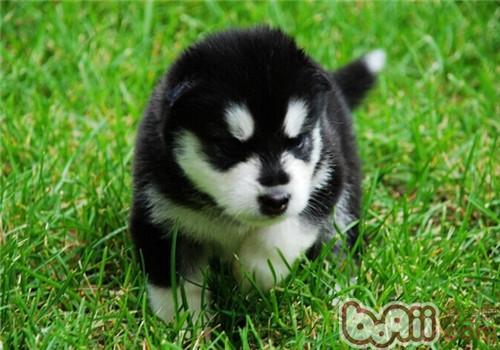 阿拉斯加雪橇犬多少钱一只
