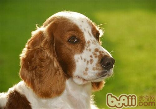 威尔士史宾格犬的品种简介