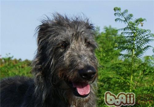 苏格兰猎鹿犬的品种简介