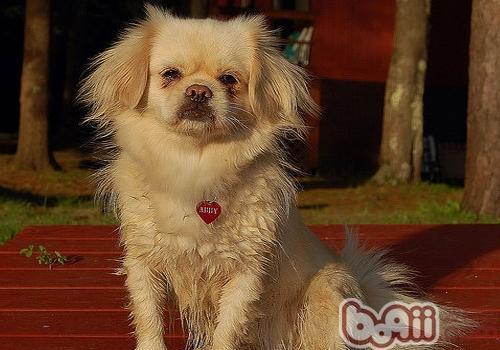 西藏猎犬的形态特征