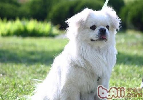 西藏猎犬的品种简介
