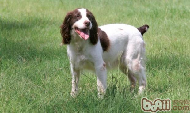 英国史宾格猎犬的性格特点