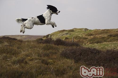 英国史宾格猎犬的品种简介