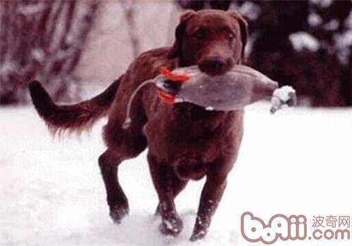 乞沙比克猎犬的形态特征