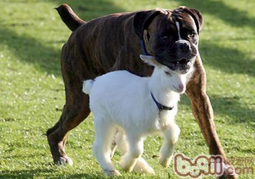拳师犬聪明吗