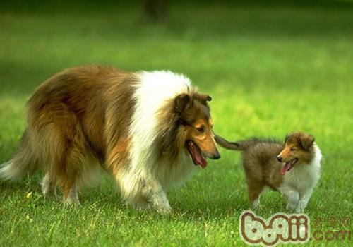 有时狗狗掉毛严重的原因
