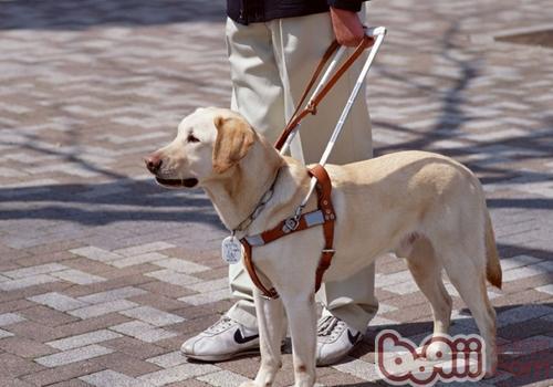 怎样才算是导盲犬